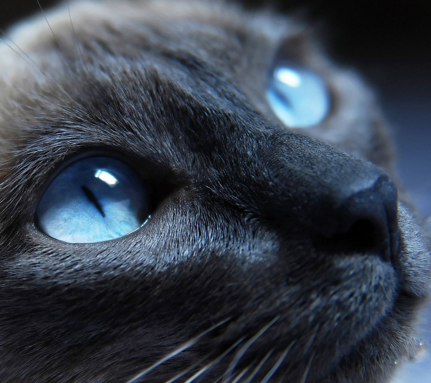 Cats That Have Blue Eyes